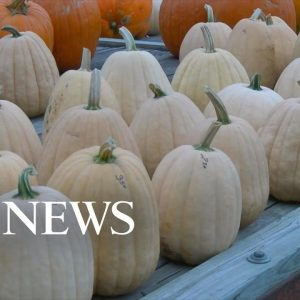 Farmers working hard to supply pumpkins for the season | WNT